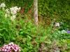 Polygonum Persicaria Echinops (Custom)