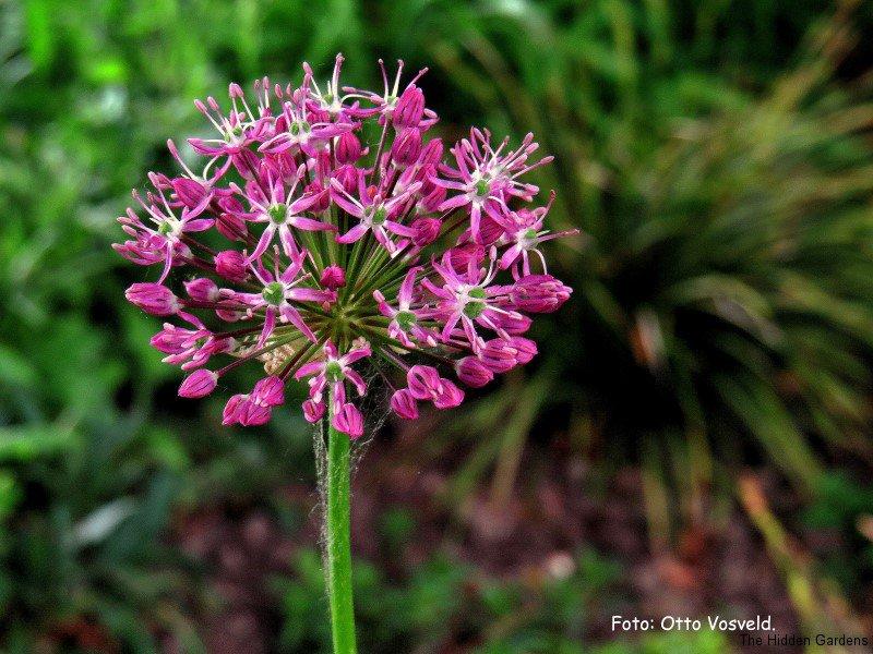 Allium (Custom)