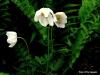 Anemone (Custom)