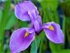 Iris (Custom)