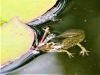 Salamander met prooi (Custom)