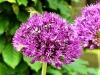 Allium met twee bijen (Custom)
